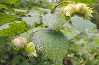 Halls Giant Hazelnuts on tree