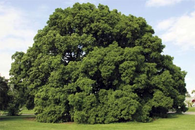 The Turner's Oak at Kew in 2008 with a revitalised, healthy crown from the decompaction exercise.