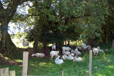 Sheep sheltering from the sun under trees