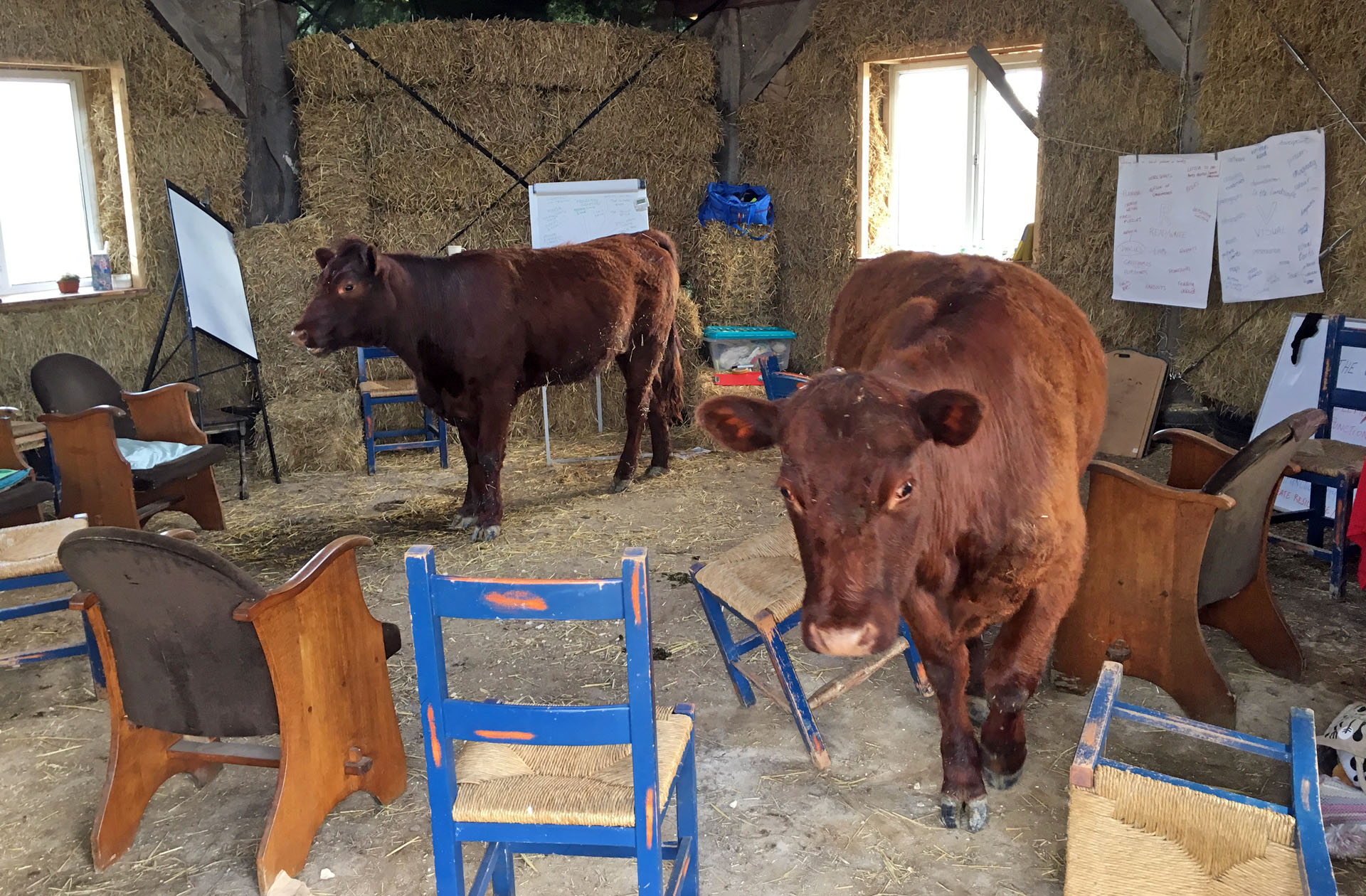 Cows in teaching barn